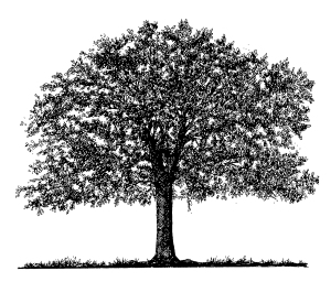 oak-tree-drawing-edit-01